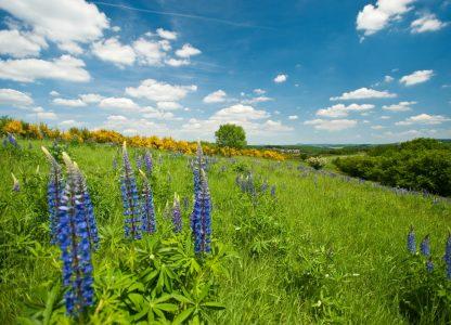 Lupinenfeld im Sommer