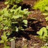 Alternative Unkrautbekämpfung – Nervige Garten-Unkräuter kulinarisch verwenden